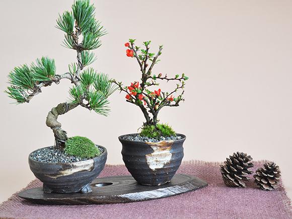 寄せ植えやペアとなった盆栽