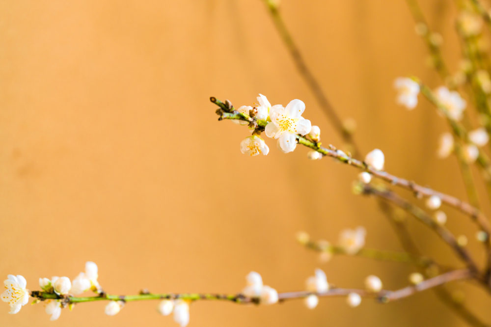 梅の盆栽の写真