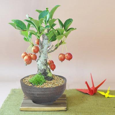 りんごの盆栽