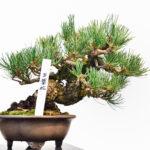 五葉松の盆栽の写真