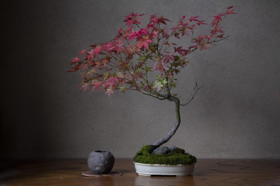 もみじの盆栽の写真