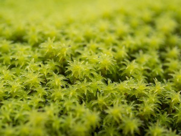 黄緑色の砂苔