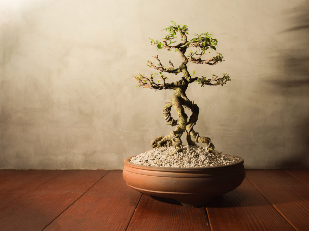 Traditional japanese bonsai