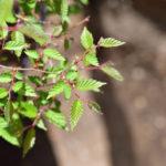 ニレケヤキの盆栽