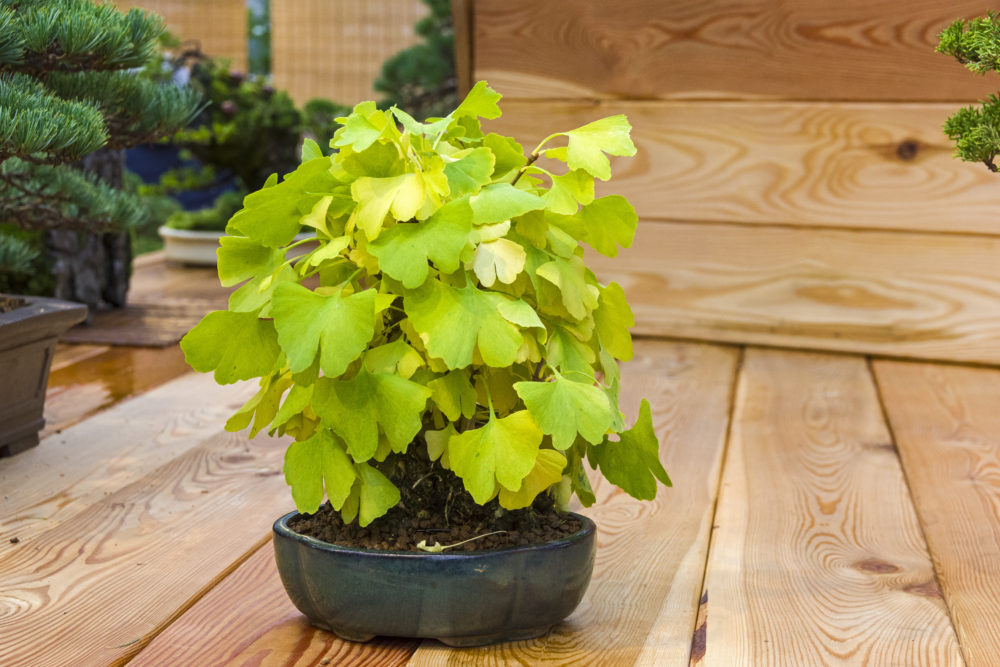 銀杏盆栽の育て方