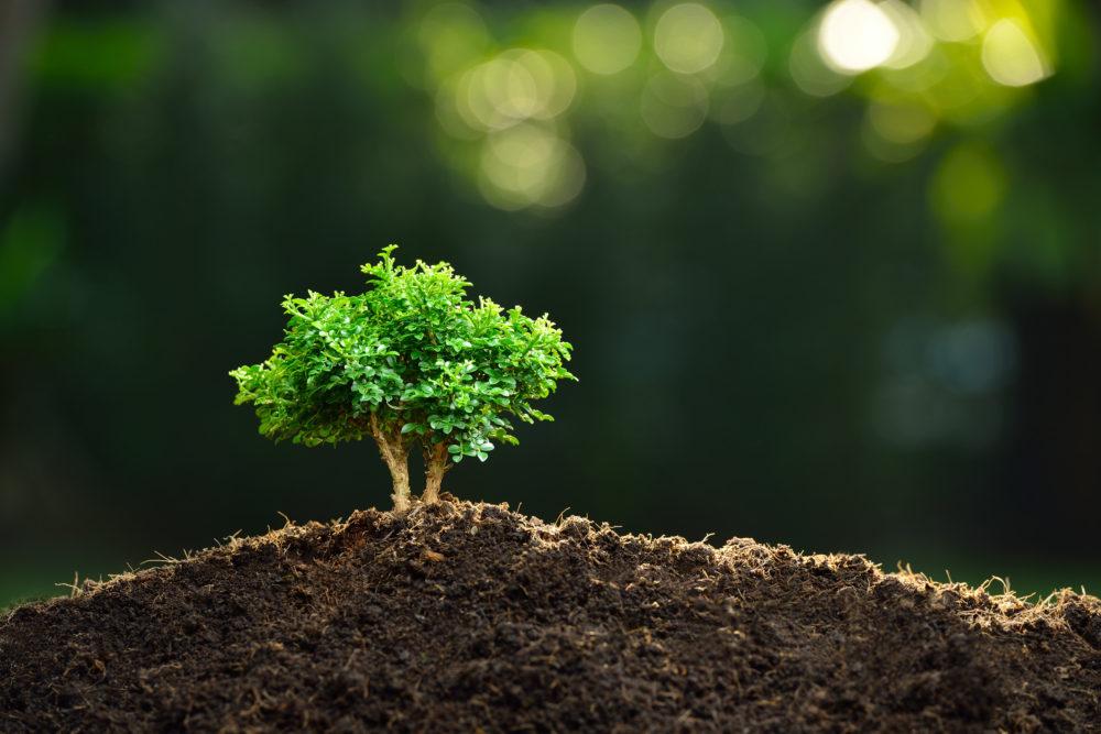 盆栽の苗木